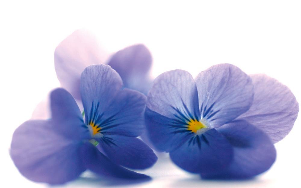 5 prelepih zimskih cvetova i kako ih gajiti Ljubicice Cvece